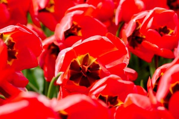 tulpenblüte mai