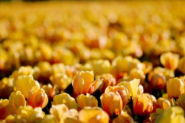 tulpenfeld lisse