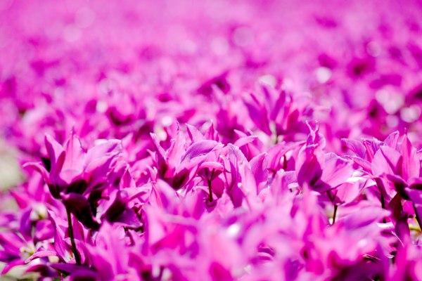 tulpenfeld niederlande