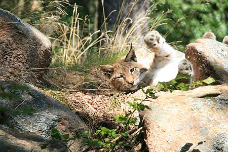 Luchs (c) spinagel.de