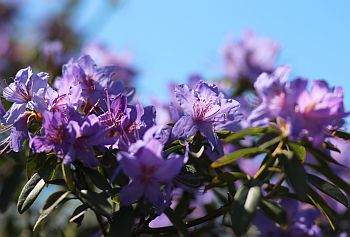 Barmstedt_01_Rhododendron